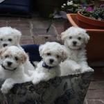 Chloe's puppies